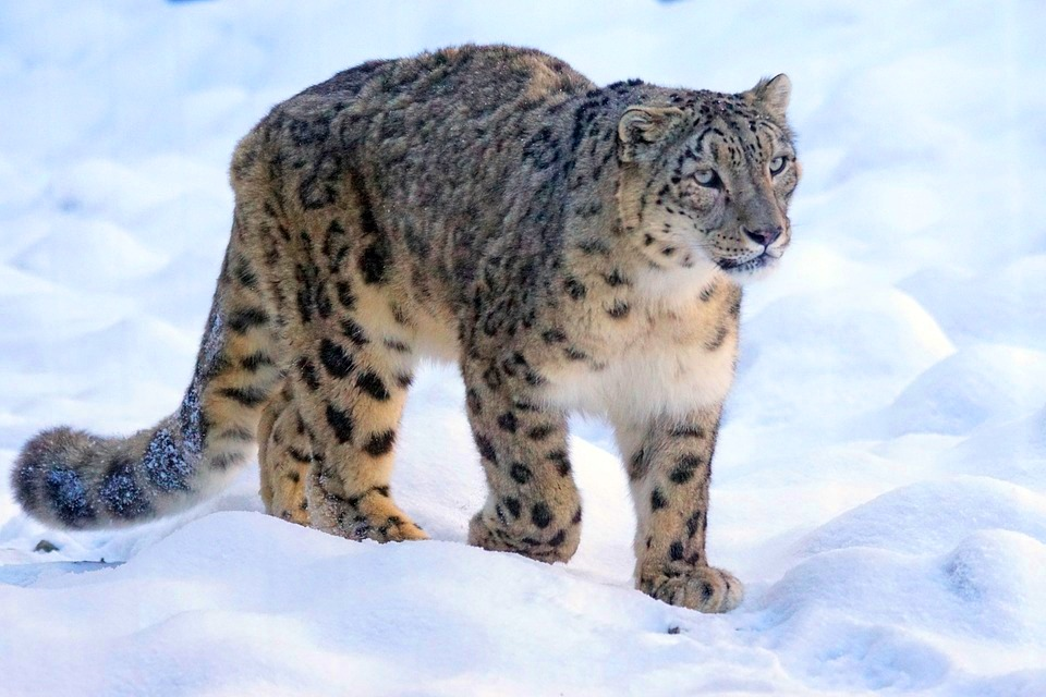 Hemis – The Famous Snow Leopard Capital